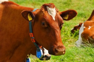 cow-1509258_960_720