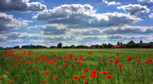 field-of-poppies-50588_960_720