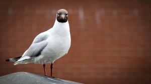 seagull-1385796_960_720