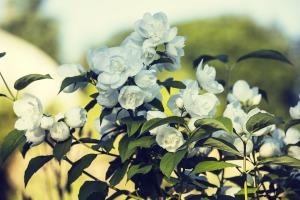 jasmine-1477991_960_720